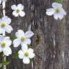 Dogwood Oil Blend at All Wicca Store Magickal Supplies, Wiccan Supplies, Wicca Books, Pagan Jewelry, Altar Statues